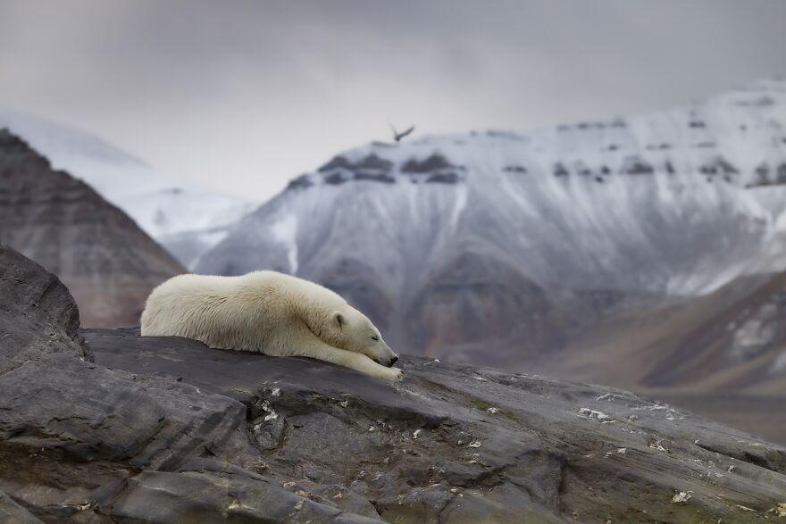 نروژ – خرس قطبی خواب آلود